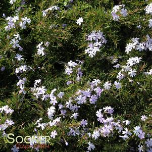Phlox subulata 'EMERALD BLUE CREEPING PHLOX'
