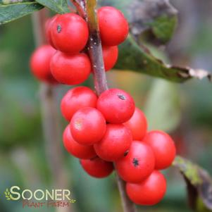 LITTLE GOBLIN® ORANGE WINTERBERRY HOLLY