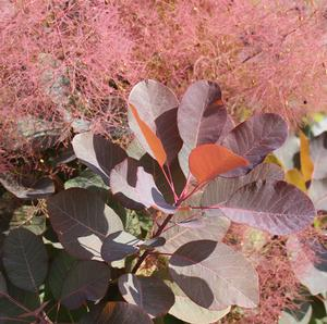 "Cotinus coggygria ""Grace"" Thumbnail"
