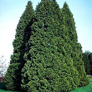 "Thuja occidentalis ""Pyramidal"" Thumbnail"
