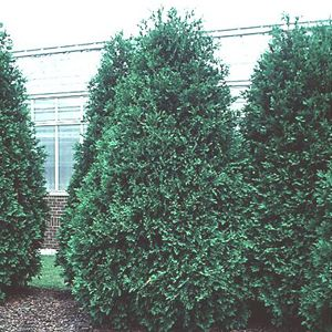 "Thuja occidentalis ""Techny"" Thumbnail"
