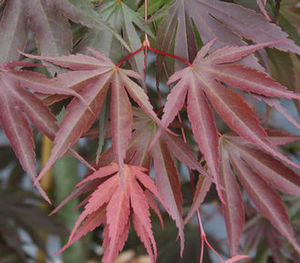 "Acer shirasawanum ""Shira Red"" Thumbnail"