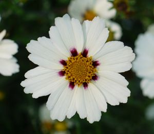 "Coreopsis x ""Star Cluster"" Thumbnail"