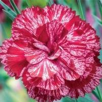 "Dianthus x ""Cosmic Red Swirl"" Thumbnail"