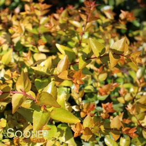"Abelia x grandiflora ""Canyon Creek"" Thumbnail"