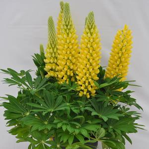 "Lupinus x ""Staircase Yellow"" Thumbnail"