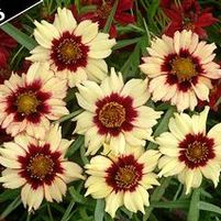 "Coreopsis x ""Autumn Blush"" Thumbnail"