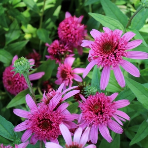 "Echinacea purpurea ""Pink Double Delight"" Thumbnail"