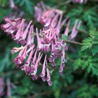"Corydalis x ""Blackberry Wine"" Thumbnail"