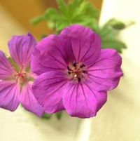 "Geranium x ""Tiny Monster"" Thumbnail"