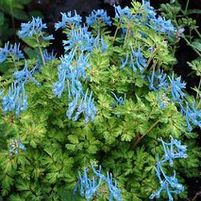 "Corydalis flexuosa ""Golden Panda"" Thumbnail"