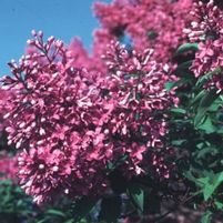 "Syringa x persica ""Purple Persian"" Thumbnail"