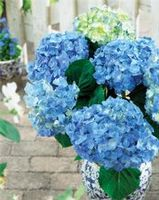 "Hydrangea macrophylla ""Forever Ever Blue Heaven"" Thumbnail"