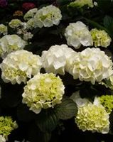 "Hydrangea macrophylla ""White Out"" Thumbnail"