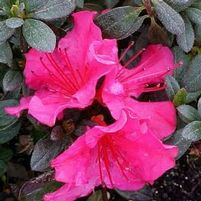 "Rhododendron azalea girard x ""National Beauty"" Thumbnail"