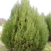 "Juniperus scopulorum ""Cologreen"" Thumbnail"