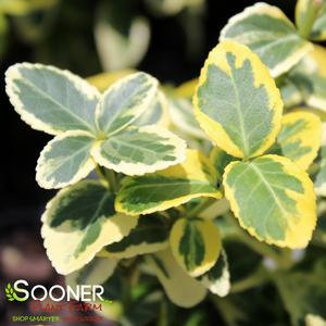 "Euonymus fortunei ""Roemertwo"" Thumbnail"