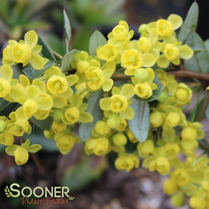 "Berberis x gladwynensis ""William Penn"" Thumbnail"