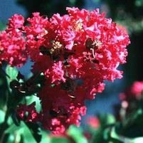 "Lagerstroemia indica ""Becky's Watermelon Red"" Thumbnail"
