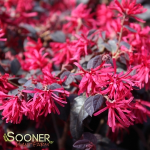 "Loropetalum chinensis ""Chang Nian Hong"" Thumbnail"