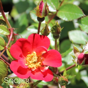 "Rosa species ""WEKairyven"" Thumbnail"