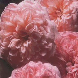 "Rosa species ""Abraham Darby"" Thumbnail"