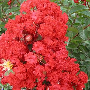 "Lagerstroemia indica ""Red Rocket"" Thumbnail"