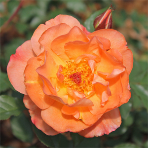 "Rosa species ""KORwest"" Thumbnail"