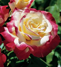 "Rosa species ""Double Delight"" Thumbnail"