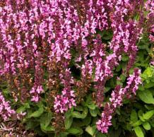 "Salvia nemerosa ""Sensation Rose"" Thumbnail"