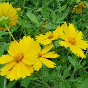 "Coreopsis x ""Sunshine Superman"" Thumbnail"