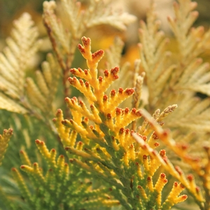 "Thuja occidentalis ""Sunkist"" Thumbnail"