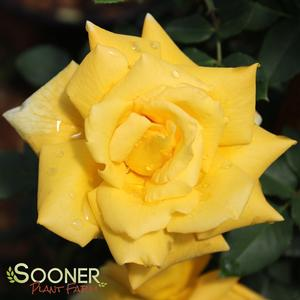 "Rosa species ""Royal Gold"" Thumbnail"