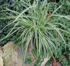 "Carex morrowii ""Ice Ballet"" Thumbnail"