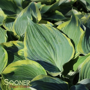 "Hosta x ""Earth Angel"" Thumbnail"