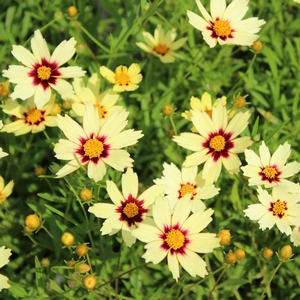 "Coreopsis x ""Red Shift"" Thumbnail"