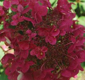 "Hydrangea paniculata ""Fire and Ice"" Thumbnail"