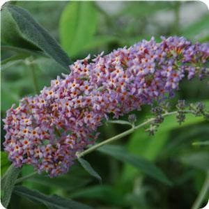 "Buddleia x ""Blueberry Cobbler"" Thumbnail"