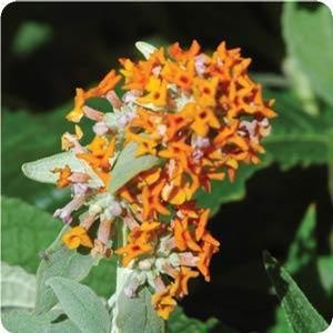 "Buddleia x ""Tangerine Dream"" Thumbnail"
