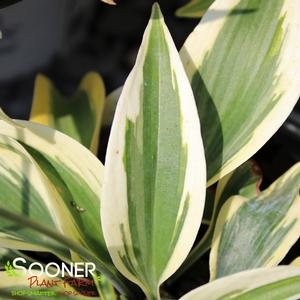 "Hosta x ""Autumn Frost"" Thumbnail"