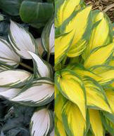 "Hosta x ""Remember Me"" Thumbnail"