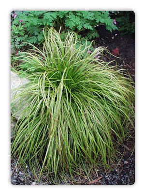 "Carex dolichostachya ""Gold Fountains"" Thumbnail"