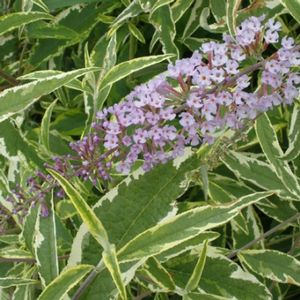 "Buddleia davidii ""Summer Skies"" Thumbnail"