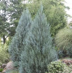 "Juniperus scopulorum ""Moonglow"" Thumbnail"