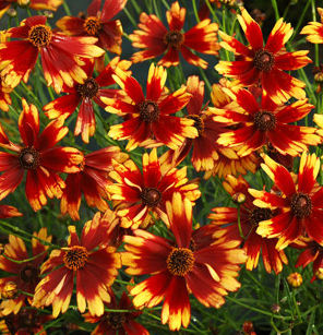 "Coreopsis asteraceae ""Summer Punch"" Thumbnail"