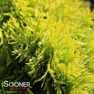 "Thuja occidentalis ""Anna Van Vloten"" Thumbnail"