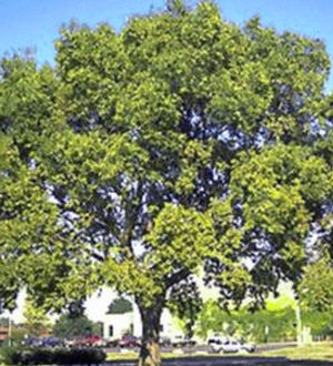"Celtis occidentalis ""Chicagoland"" Thumbnail"