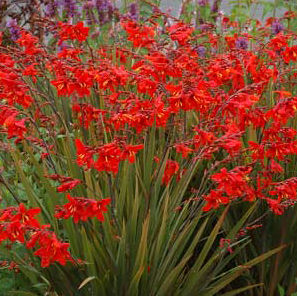 "Crocosmia x crocosmiflora ""Twilight Fairy Crimson"" Thumbnail"