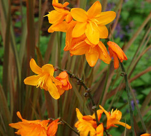 "Crocosmia x crocosmiflora ""Twilight Fairy Gold"" Thumbnail"