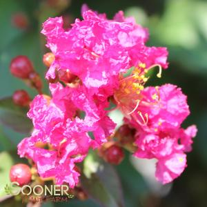 "Lagerstroemia x ""Plum Magic"" Thumbnail"